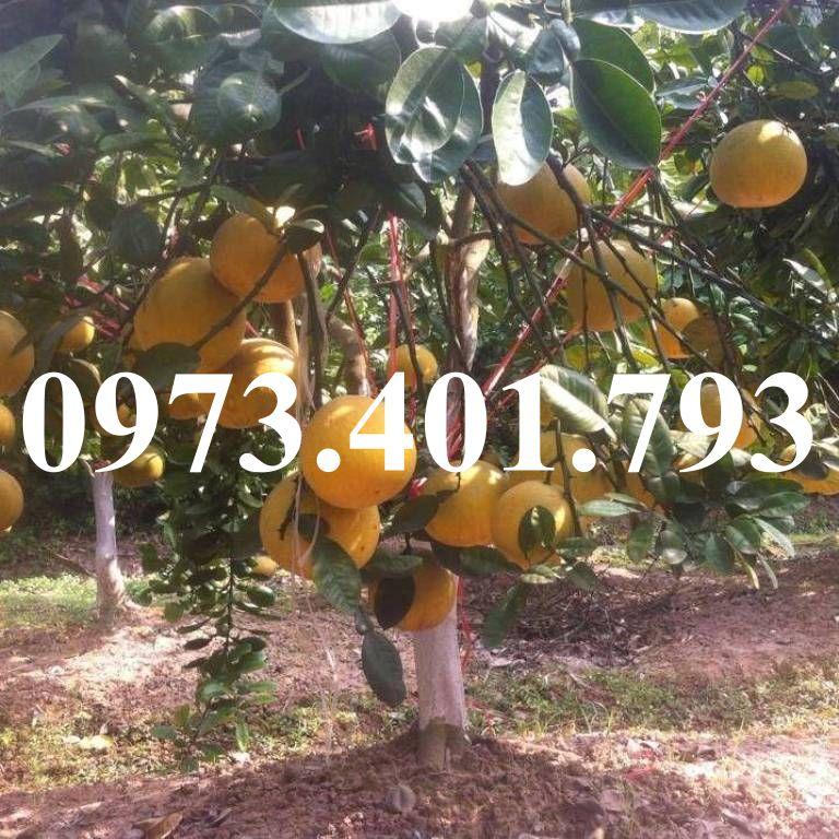 cay-giong-buoi-do-tan-lac-2651