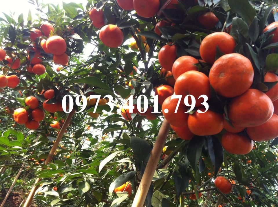 cay-giong-cam-duong-canh-2657