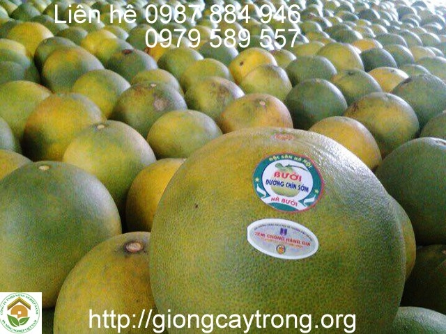 giong-buoi-que-duong-uy-tin-chat-luong-2009